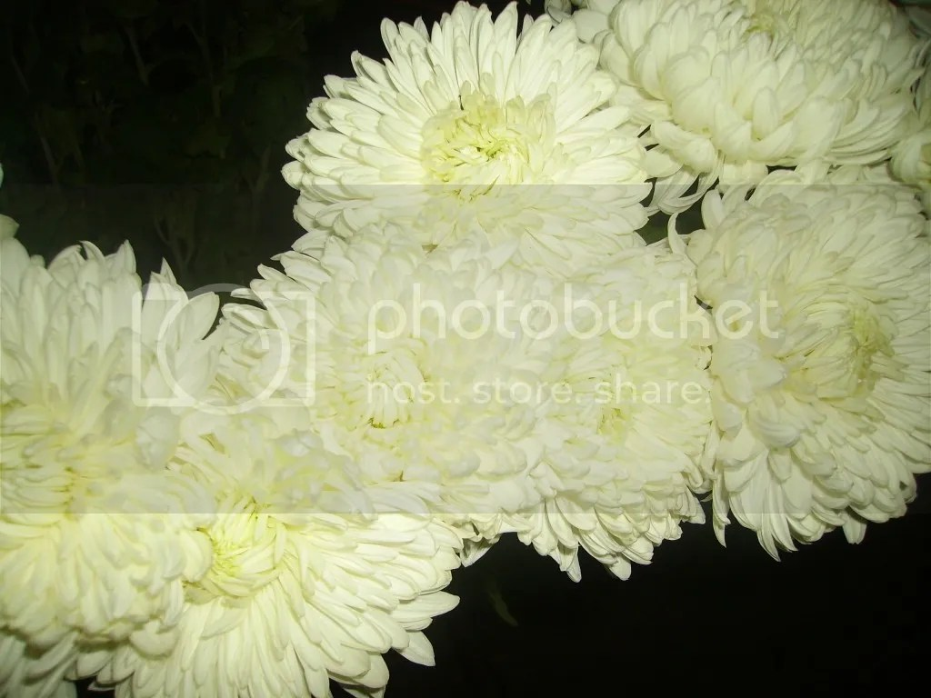 photo crizantemele-noastre-poza-31-37600x1024.jpg