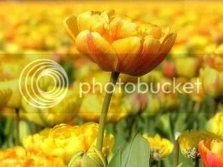 photo yellowflower000098vipics.jpg