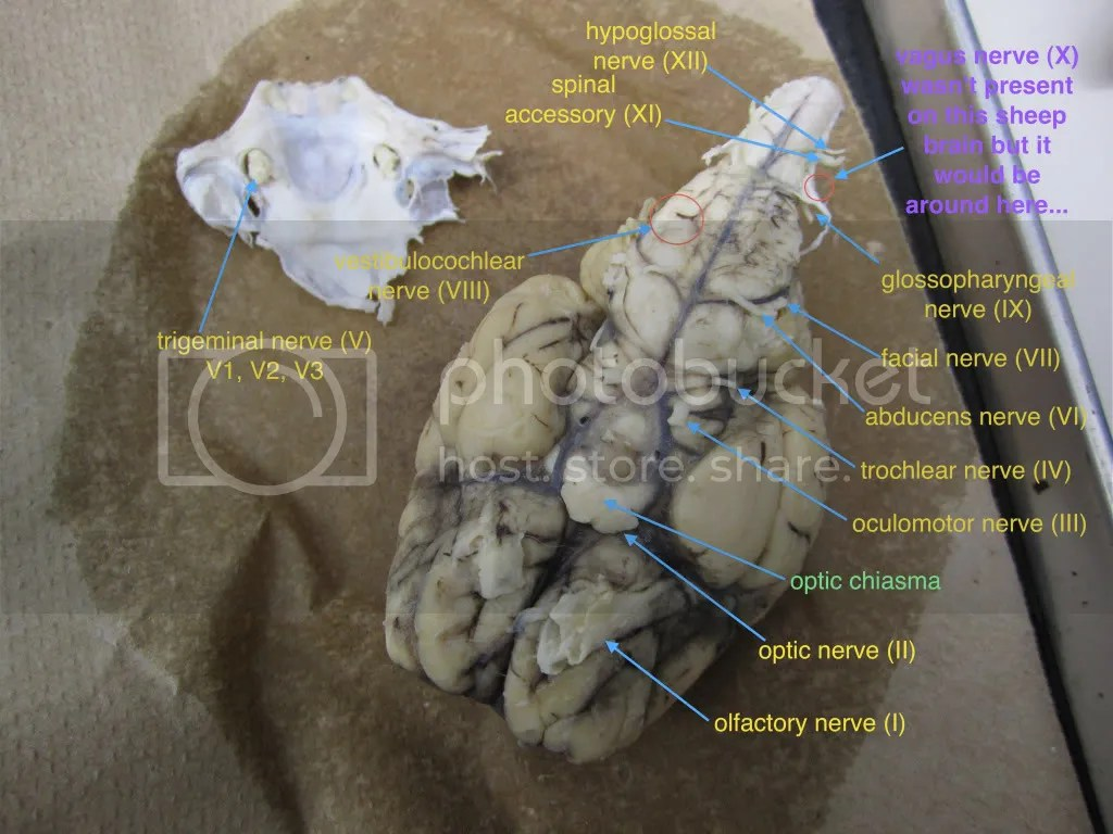 Cranial Nerves Sheep Brain Photo By Wfgroup1