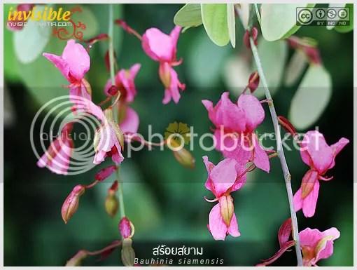 สร้อยสยาม, ชงโคสยาม, เสี้ยวแดง, Bauhinia siamensis, เสี้ยว, พรรณไม้ถิ่นเดียว, ไม้ป่าหายาก, ไม้ไทย, เฉพาะถิ่น, ไม้กึ่งเลื้อย, ดอกสีชมพู, ต้นไม้, ดอกไม้, aKitia.Com