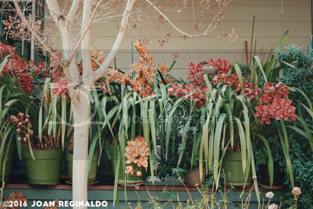 photo Cymbidium Patio_zpsnzmefnjx.png