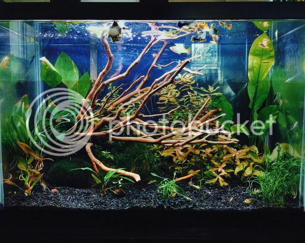 Planted tank crypts anubius marimo ball.jpg