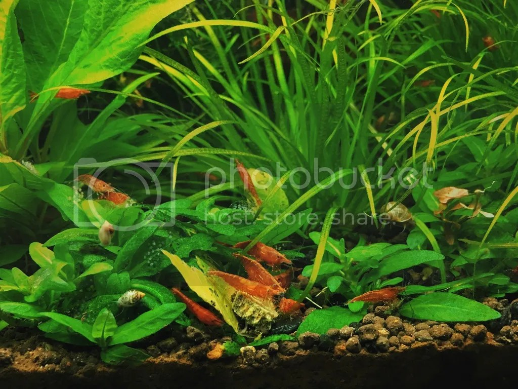 Cherry red shrimp planted tank.jpg