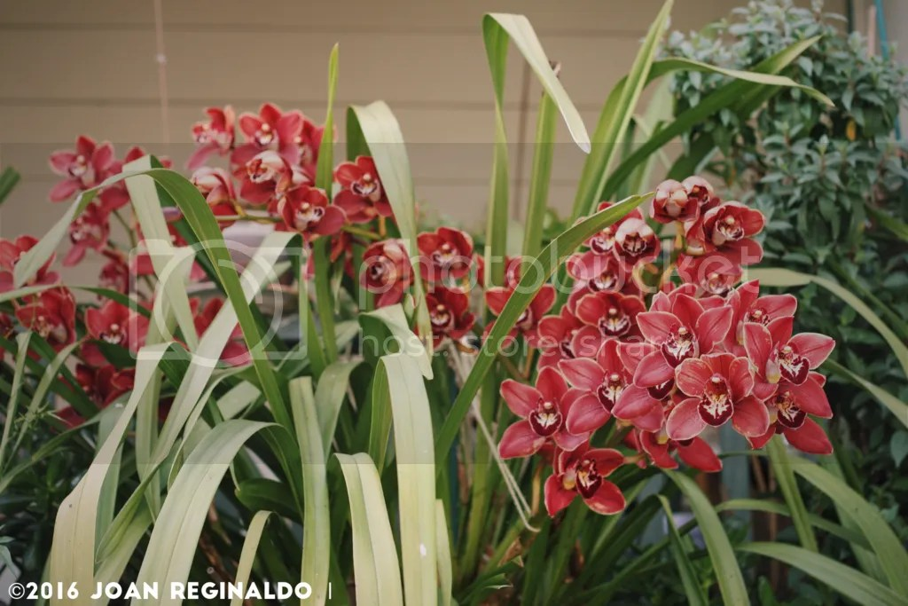 photo Pink Cymbidium 3_zpshxeexkfj.png