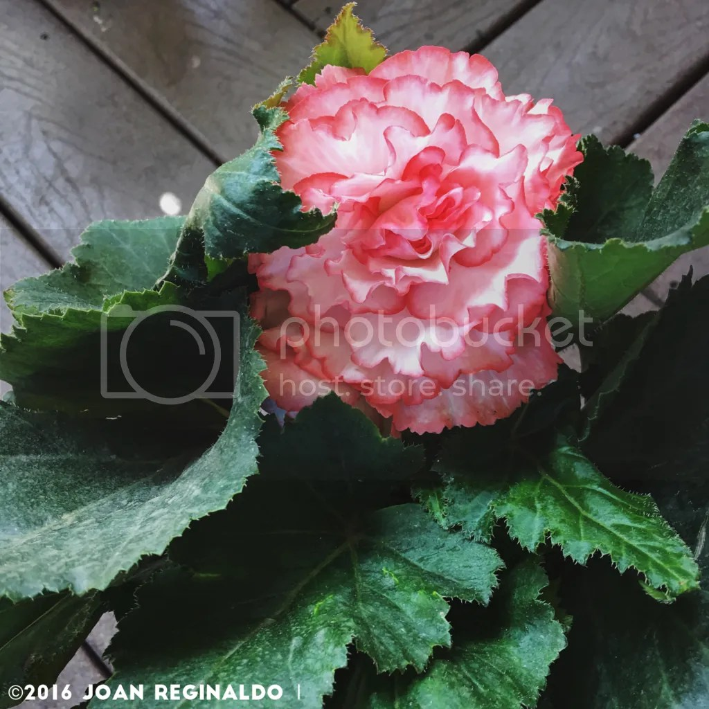 photo Pink edges begonia_zpsckyjidwy.png