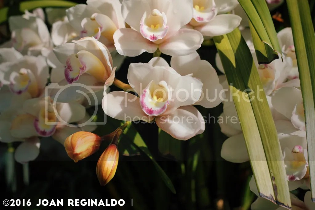 photo White Cymbidium_zpsvsxhw0gk.png