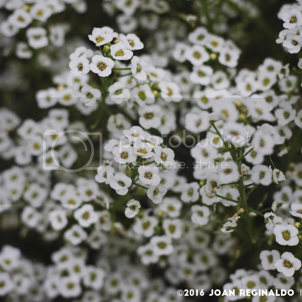 photo white flowers for sun_zpsykrlxcjx.png