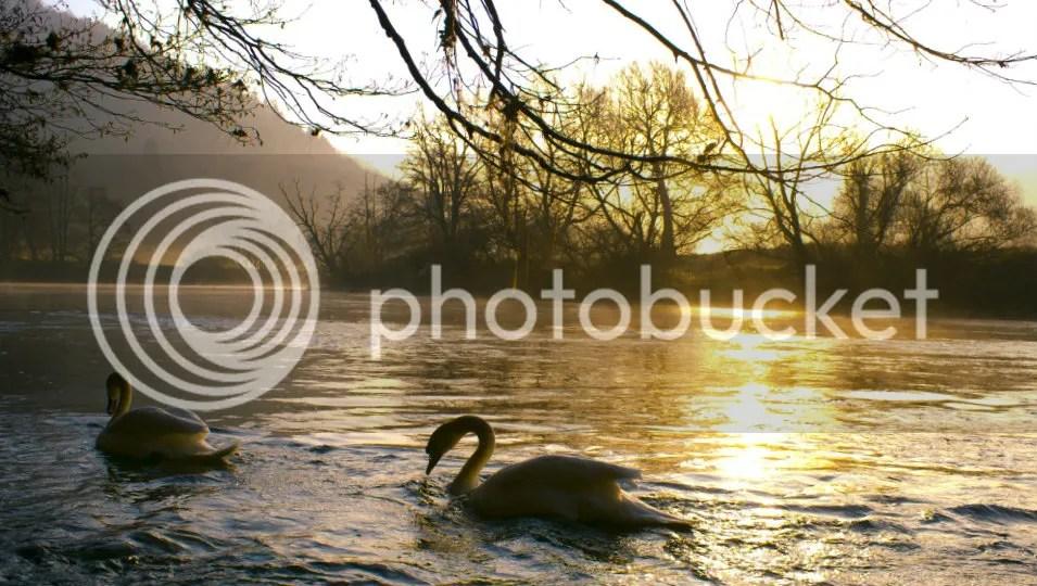 swans photo: swans swans.jpg