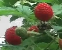 Sapinit: Philippine Wild Raspberry agribusiness