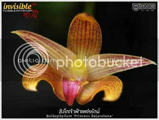 สิงโตเจ้าฟ้าเพชรรัตน์, สิงโตเพชรรัตน์, Bulbophyllum Princess Bejaratana, กล้วยไม้ในพระนาม, ไม้ในพระนาม, กลุ่มสิงโตสยาม, สิงโตลูกผสม, ไม้ดอก, กล้วยไม้, ดอกไม้, aKitia.Com