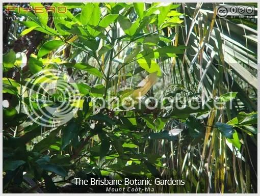สวนพฤกษศาสตร์เมืองบริสเบน, The Brisbane botanic gardens, Mount Coot-tha, Mt Coot-tha botanic gardens, สวนต้นไม้, ไม้ต่างประเทศ, ไม้แปลก, ไม้หายาก, ต้นไม้, ดอกไม้, aKitia.Com