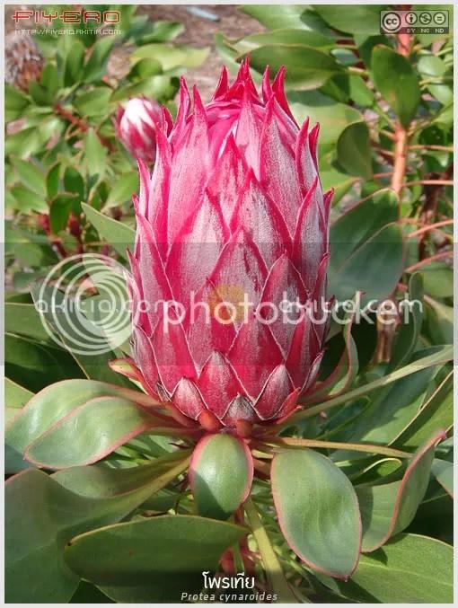 โพรเทีย, Protea cynaroides, King Protea, Giant Protea, ไม้แปลก, ไม้หายาก, ไม้ดอกไม้ประดับ,  ต้นไม้, ดอกไม้, aKitia.Com