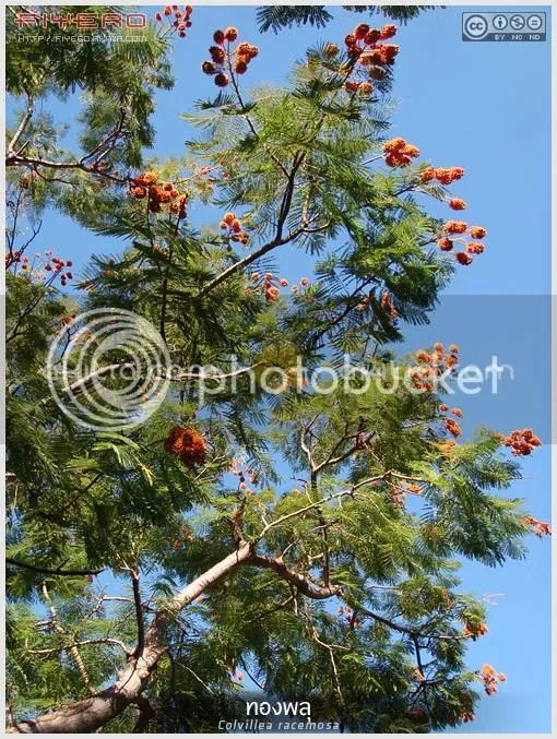 ทองพลุ, Colvillea racemosa, โคลวีเลีย, Colville's Glory Tree, Whip Tree, ไม้มาดากัสการ์, ไม้ยืนต้น, ดอกสีส้ม, ไม้ดอก, ต้นไม้, ดอกไม้, aKitia.Com