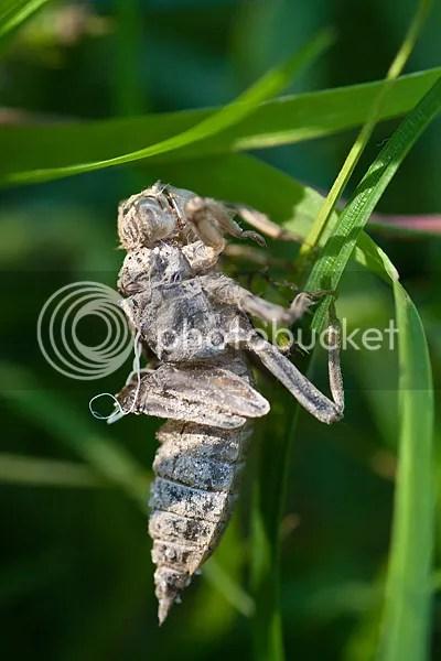 Libelle larvenhuidje