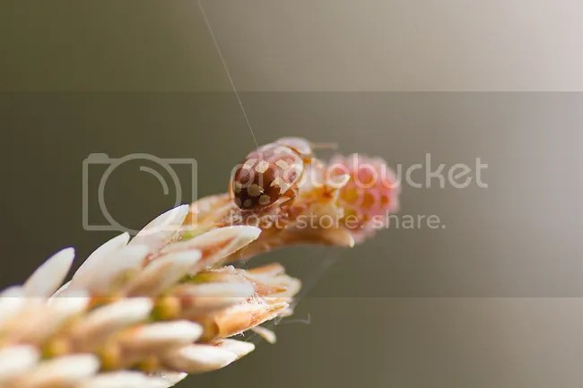 Roomvleklieveheersbeestje