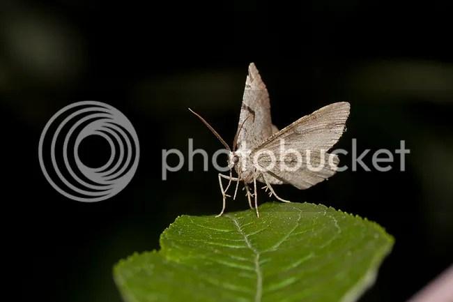 Zwarte-w-vlinder