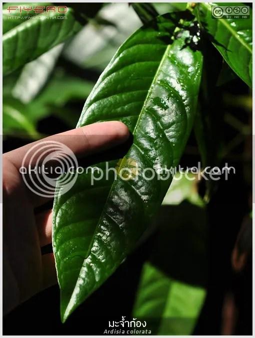 มะจ้ำก้อง, พิลังกาสา, พิลังกาสาใหญ่, Ardisia colorata, กระดูกไก่, ไม้ไทย, ไม้ป่า, ไม้ดอก, ดอกสีชมพู, ไม้พุ่ม, ต้นไม้, ดอกไม้, aKitia.Com