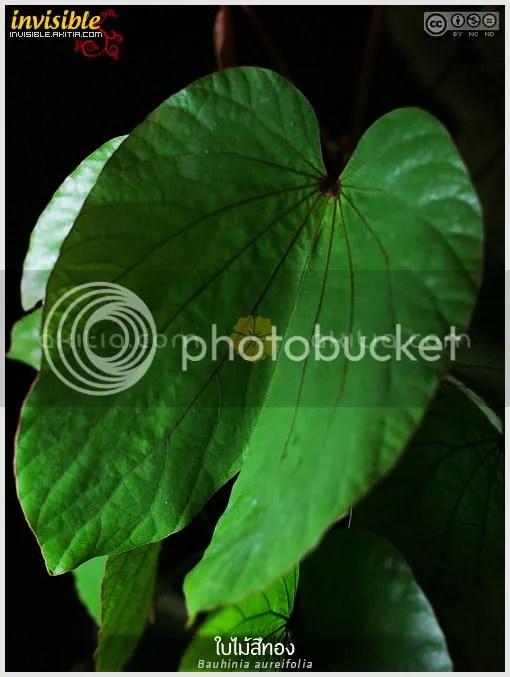 ใบไม้สีทอง, ย่านดาโอ๊ะ, Bauhinia aureifolia, ไม้ดอกหอม, เสี้ยว, ไม้เถา, ไม้เลื้อย, ไม้แปลก, ต้นไม้, ดอกไม้, aKitia.Com