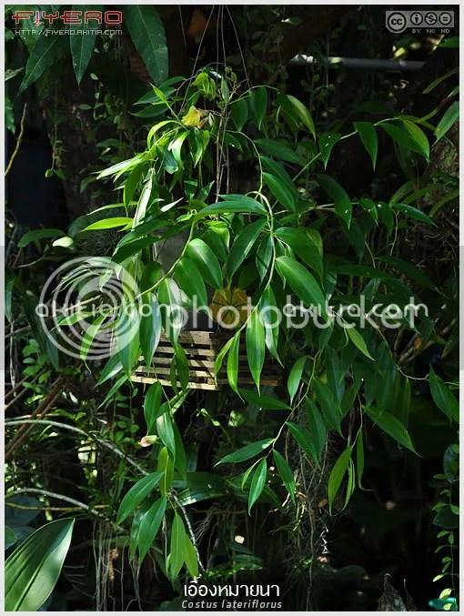 เอื้องหมายนา, Costus lateriflorus, ไม้ดอกหอม, ดอกสีเหลือง, ไม้อิงอาศัย, ไม้แปลก, ไม้หายาก, ต้นไม้, ดอกไม้, aKitia.Com
