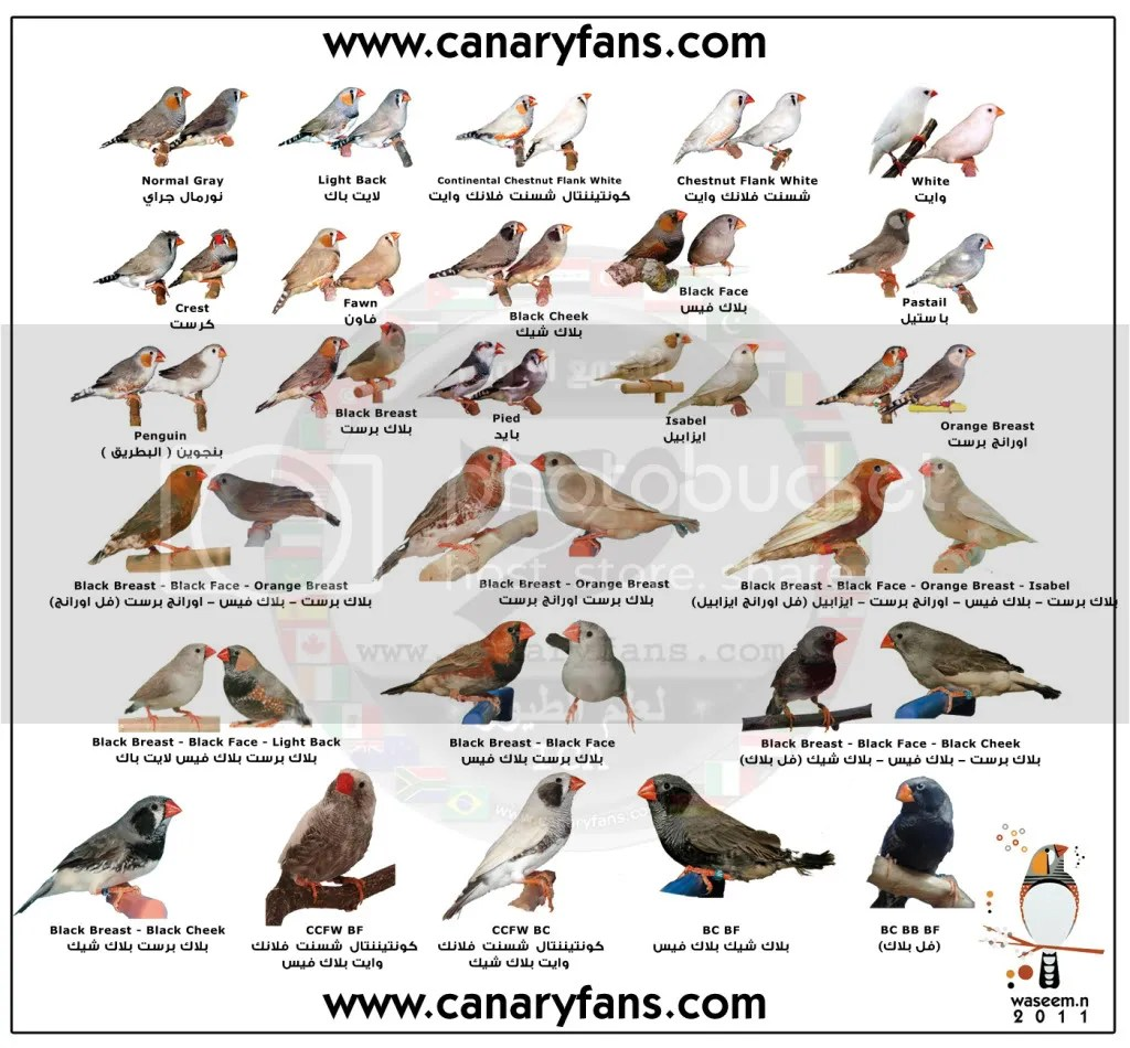 Poster For Zebra Finch Photo By Wesoonline1