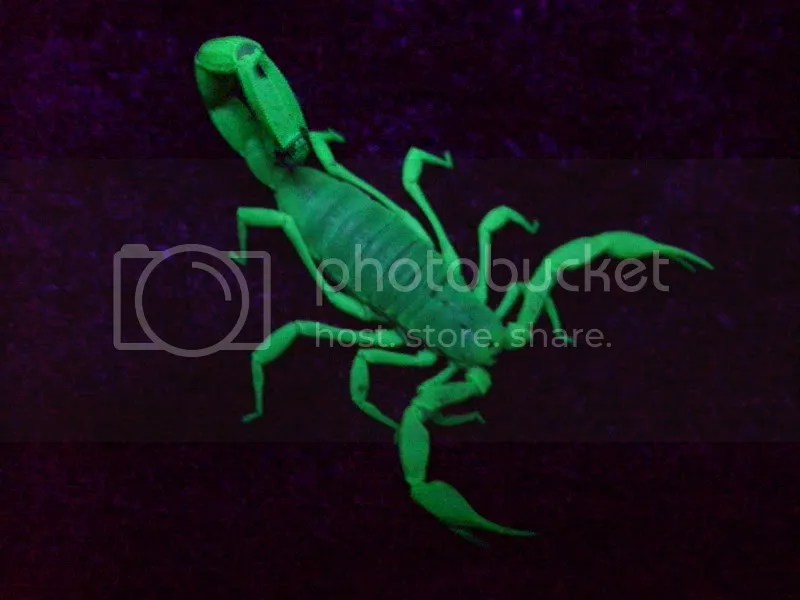 Animals Glow Scorpion