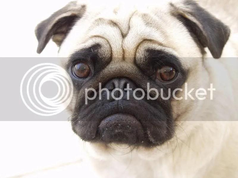 photo Beautiful-Pug-pugs-13728088-1600-1200_zps5c5406c8.jpg