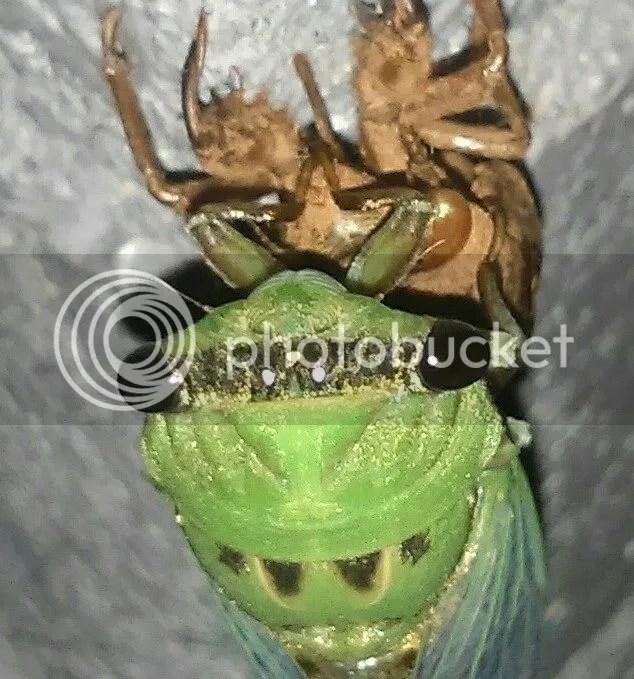 cicada eye to eye photo cicada eye to eye.jpg