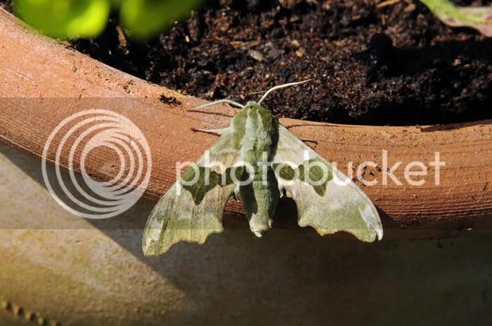 Lime Hawk Moth in Kineton