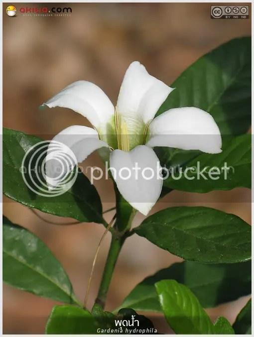 พุดน้ำ, Gardenia hydrophila, อุณากรรณ, ตึ่งตาใส, ไม้ดอกหอม, ไม้พุ่ม, ดอกสีขาว, ไม้แปลก, aKitia.Com
