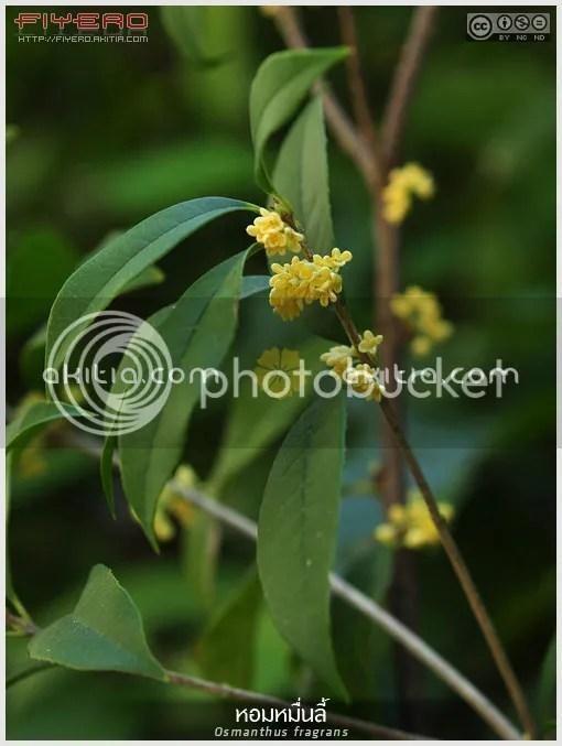 หอมหมื่นลี้, ดอกหอมหมื่นลี้, สารภีอ่างกา, สารภีฝรั่ง, Osmanthus fragrans, Tea Olive, Fragrant Olive, Sweet Olive, ไม้ดอกหอม, ดอกสีขาว, ไม้เมืองหนาว, ไม้พุ่ม, ไม้ดอก, ไม้ประดับ, ต้นไม้, ดอกไม้, aKitia.Com