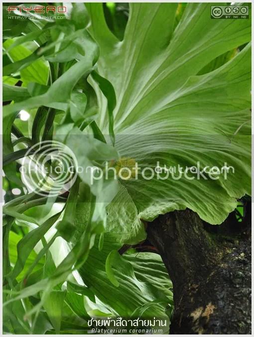 ชายผ้าสีดาสายม่าน, เฟินชายผ้าสีดา, สายม่าน, กระเช้าเขากวาง, กระเช้าสีดา, สายวิสูตร, Platycerium coronarium, Disk Staghorn, Crown Staghorn, เฟิน, ไม้ไทย, ไม้ใบ, ไม้ประดับ, ต้นไม้, ดอกไม้, aKitia.Com