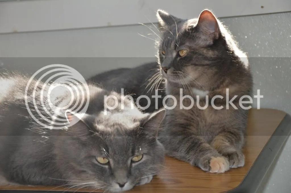 FIV cats at HARTS