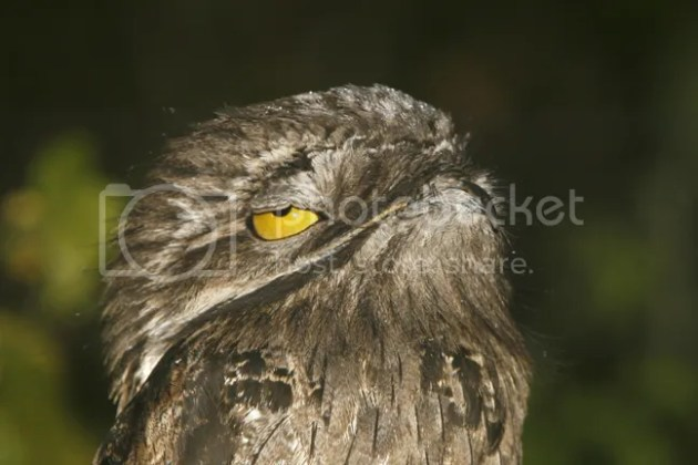 characteristics   The Common Potoo Bird