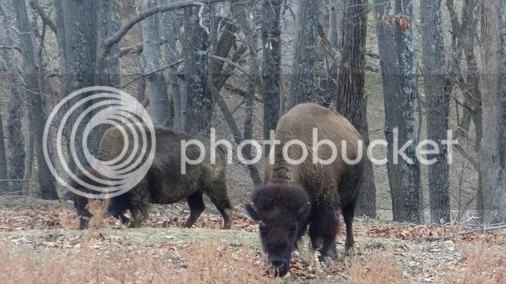 bison two 090213 stl photo DSC00630.jpg