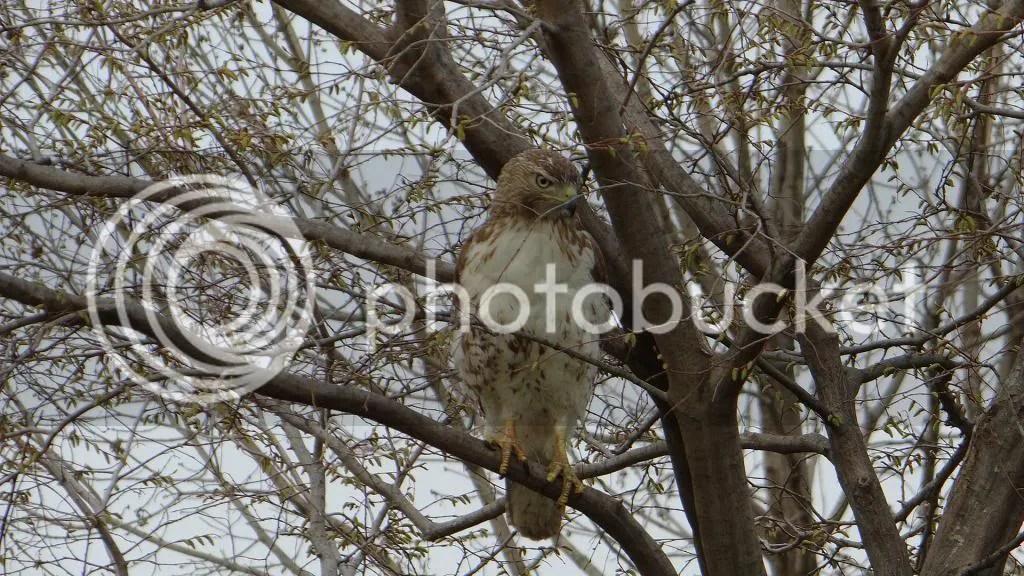 3 rd tld hwk in tree photo DSC03785.jpg