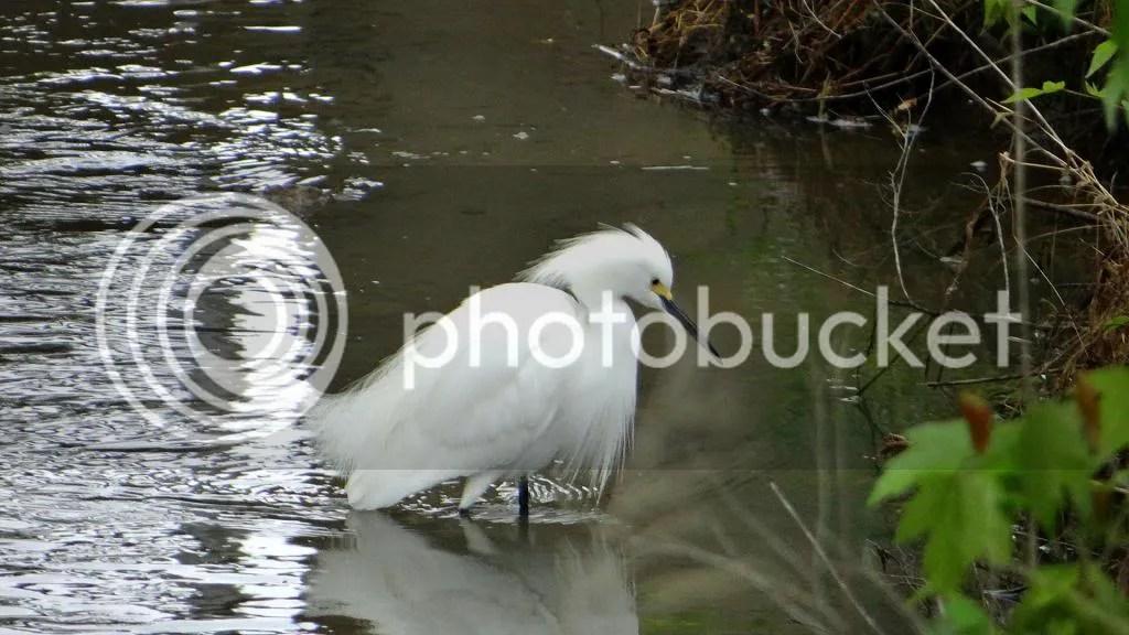 Snwy Egret 040513 fp photo DSC06069.jpg