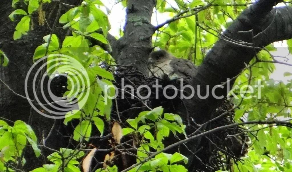 Cprs Hwk nest 040513 fp photo DSC06080.jpg