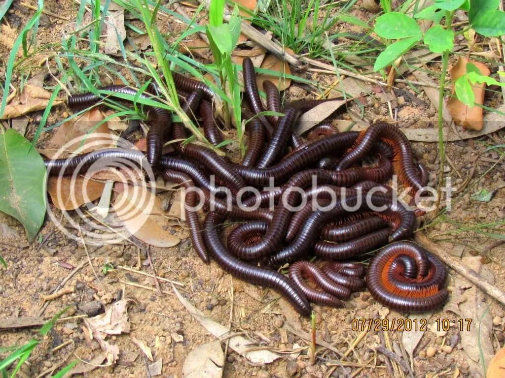 millipede nest 290712 jpngr resfrst