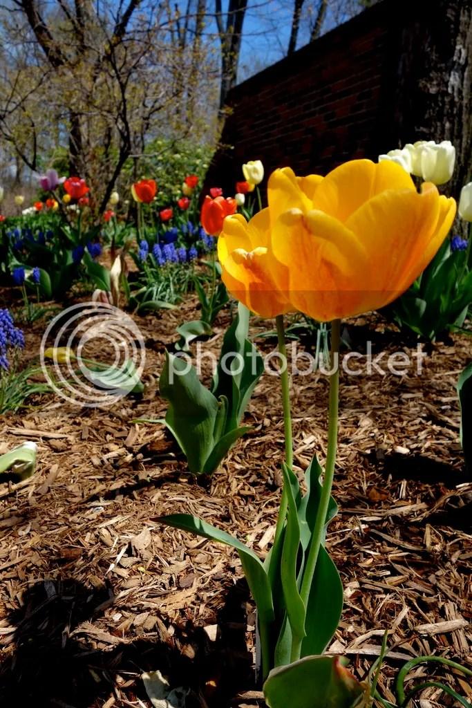 photo Spring Tulips_zpsbkdjajb6.jpg