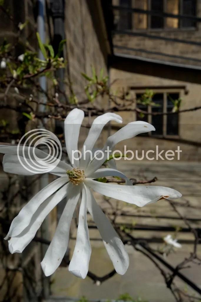 photo White Flower_zpsihrstodq.jpg