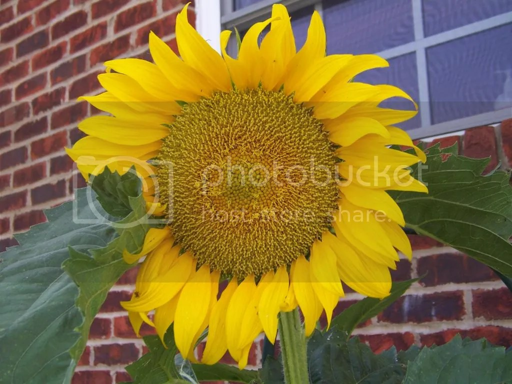 Sunflower photo 100_1905.jpg