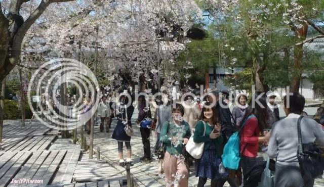 Paseando bajo los sakuras en flor