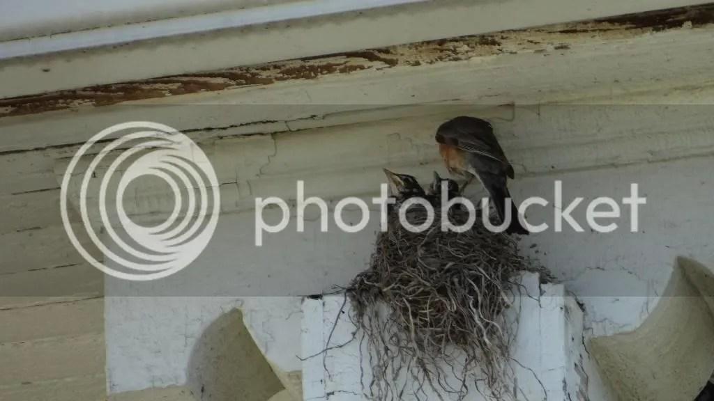 2  robin's nest stl 240513 photo DSC07664_zpsb1208175.jpg