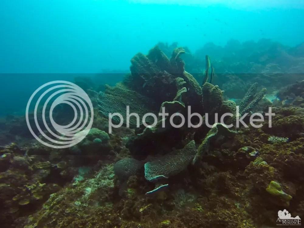 Leaf Coral with Moorish Idol