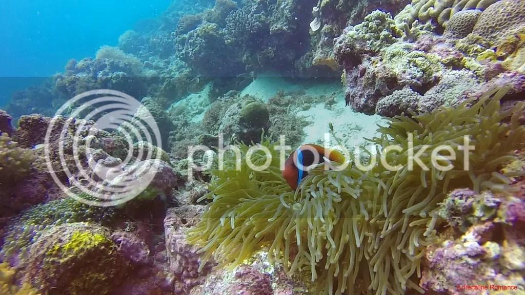 Clownfish and Anemone
