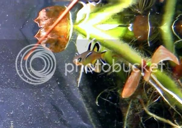 Honey Blue Eyes - Pseudomugil mellis - General Aquarium ...