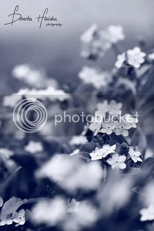 przyroda, kwiatki, kwiaty, niezapominajki