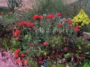 Red flowering Leucospermum