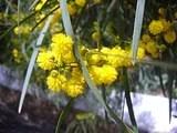 Mimosablommor.jpg