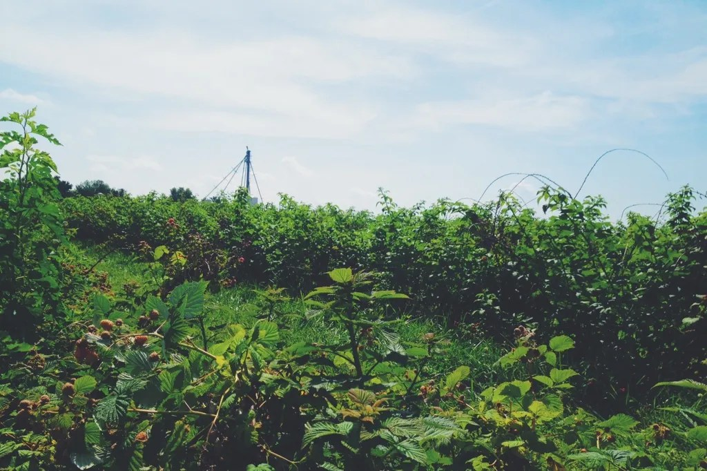 berry fields forever